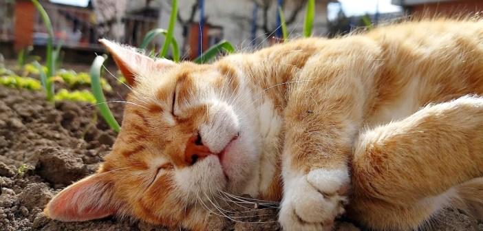 畑で眠る猫