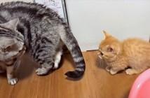 先住猫についていく子猫