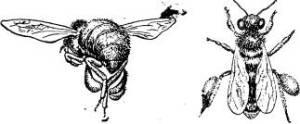 Строение тела пчелы медоносной