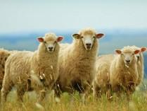 Овцы с sms-сигнализацией