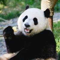Бельгия готовится к встрече гигантских панд из Китая