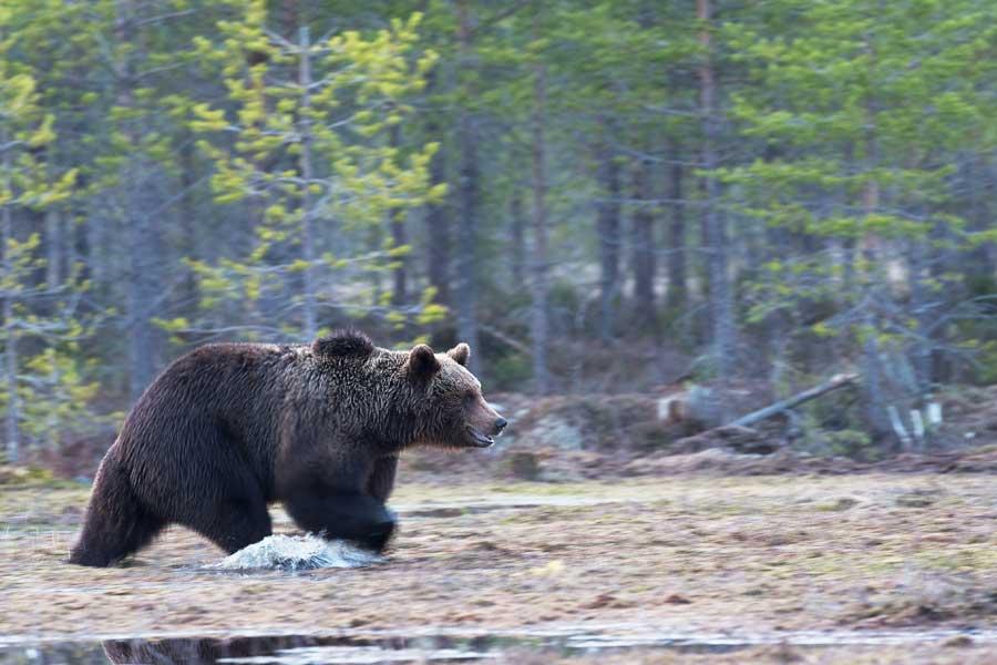 Медведя родом из Словении могут депортировать с Пиренеев за плохое поведение