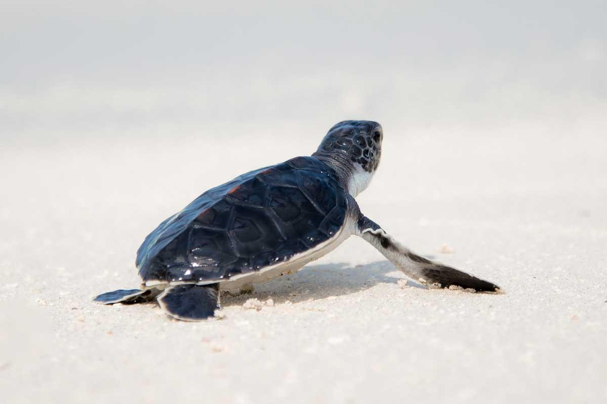 Морские черепахи начали откладывать яйца на людных испанских пляжах
