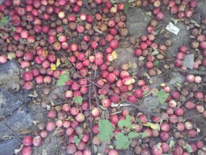 Apples Ukraine