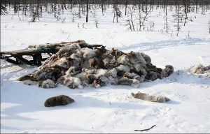 Poachers 'killed 20,000 reindeer - to cut off their tongues', seen as a culinary delicacy. (Image: WWF Russia)