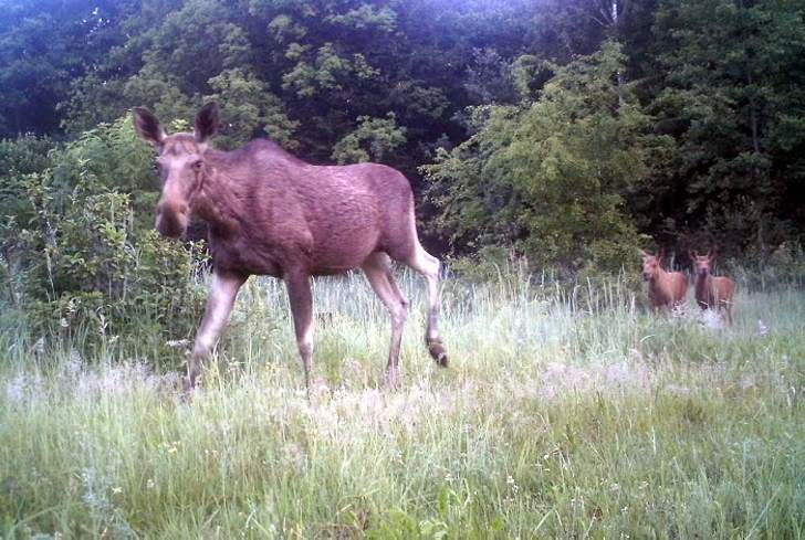 A moose with two cubs.