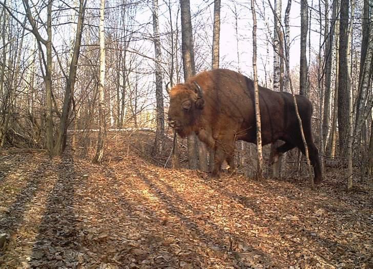 A bison.