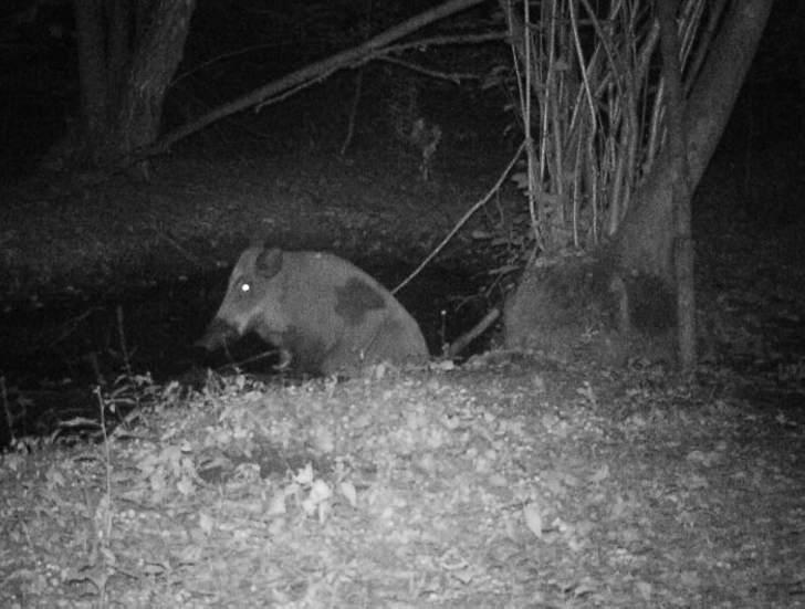 A boar.