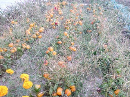 Vegetable gardens wilting in the area of Armyansk. Source: Twitter/KrimRt