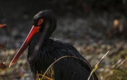 Estas son las especies en peligro de extinción en España