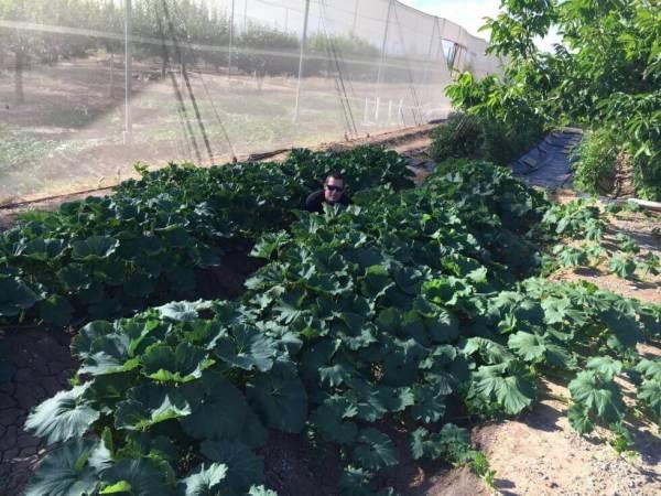 kabocha-planting-0614-2