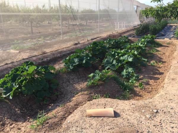 kabocha-planting-5
