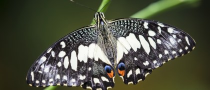 close up of a marbled white butterfly, melanargia galathea