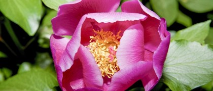 Paeonia broteroi or peony flower Alor Mountain Range Extremadura Spain