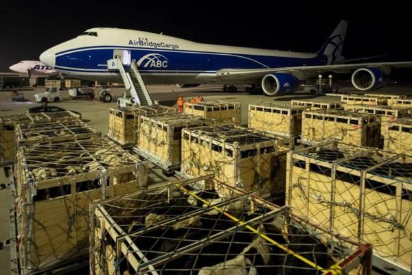 165 Rinder werden in eine Boeing 747-8F der AirBridgeCargo Airlines verladen (© Flughafen Leipzig-Halle)