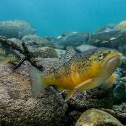 Chinook salmon die-off as a consequence of climate change