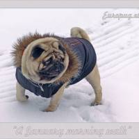 Pug Winter Walks
