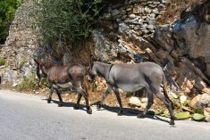 Donkeys observing the rules of traffic