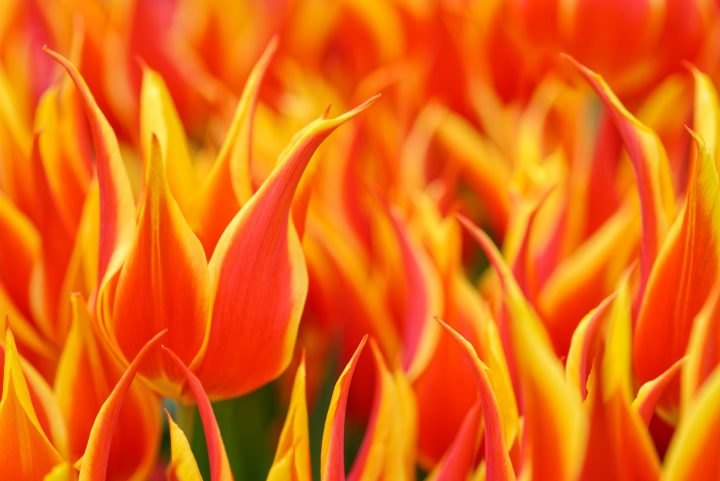 Rare tulip species were worth a fortune during the Tulip Mania