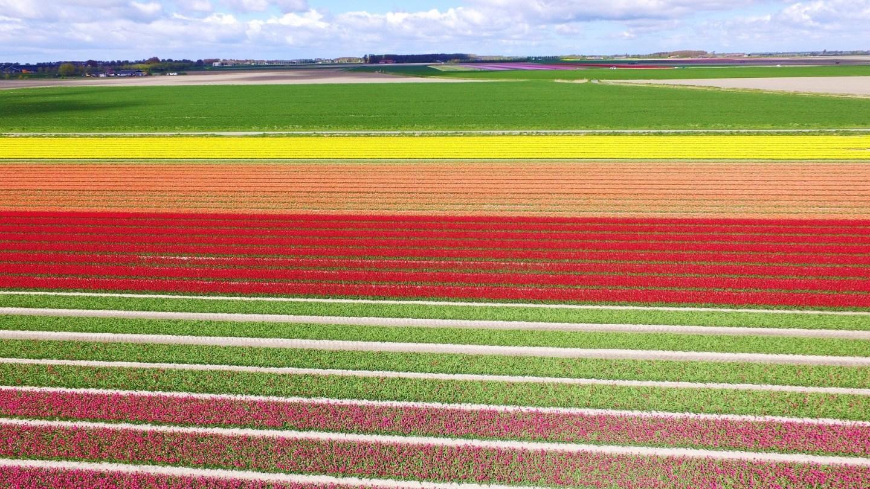 Campos de Tulipanes en Lisse