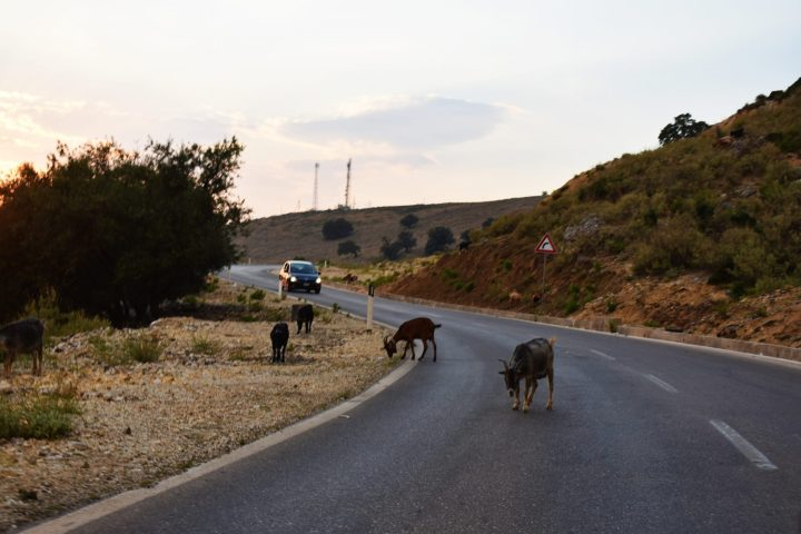 Goats on the Road - 2