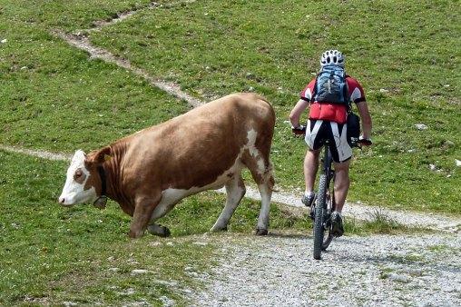 Krowa na szlaku