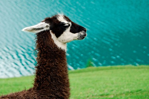 Lama w dolinie Senales