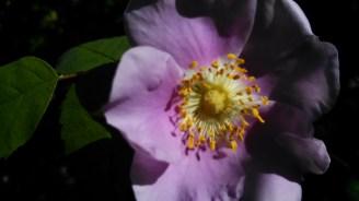 Nootka rose - Rosa nutkana