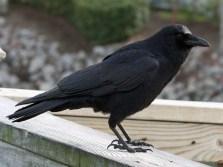 American Crow (Agelaius phoeniceus)