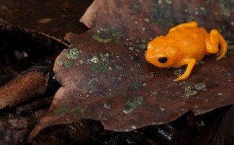 This tiny, brazilian frog may have harnessed the power of fluorescence to communicate with other animals