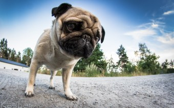 Dog DNA could aid quest to help breeds breathe more easily