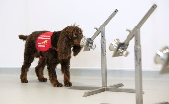 Dogs to train as COVID-19 detectors