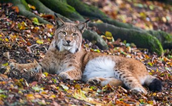 Should Scotland reintroduce the Eurasian lynx to its highlands?