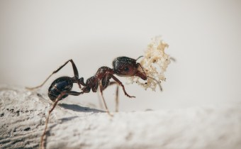 Parasite-infected ants have discovered the secret to living a longer life