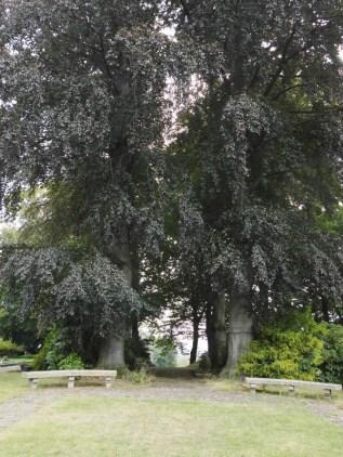 Friedhofs Rotbuchen