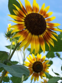 Sonnenblume_Dornach