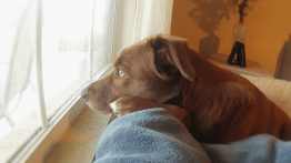 a-sad-dog-looks-out-the-window-waiting-her-owner-to-return-home_vy8x0rak__F0000