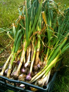 Wet Purple Garlic Harvest at SCF