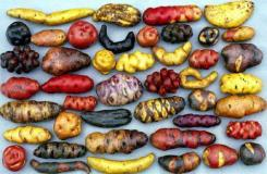 potatoes varieties that taste delicious and can grown in different environments.