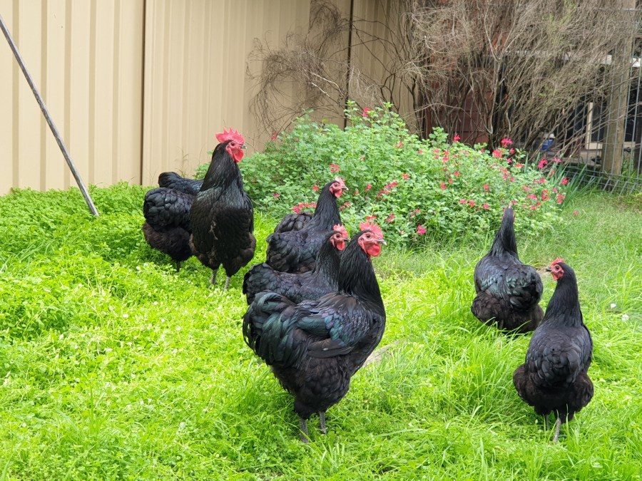 Australorps on Grass, Maraylya NSW Evans Chickens