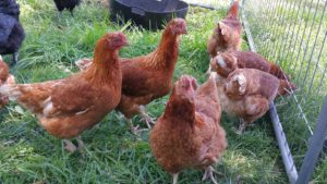 Hyline Brown Chicken, Sydney