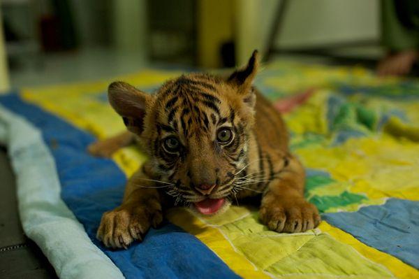 Cute tiger cub evans blog tiger cub cute altavistaventures Gallery