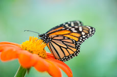 Butterfly pollinator