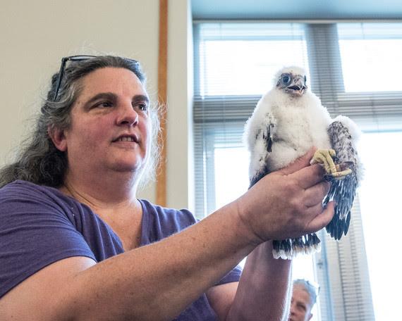 falcon banding