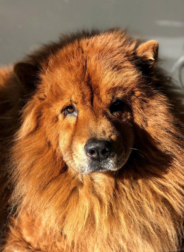 lion-dog, chow dog