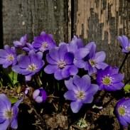 Igale lillele on looduse poolt antud oma värv. Ka Sinu hingel on omad värvid olemas. Näita neid julgelt välja.