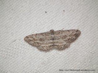 Psilosticha attacta, Geometridae, Ennominae (ID P. Marriott)