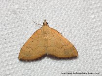 Chrysolarentia correlata, male (ID P. Marriott)