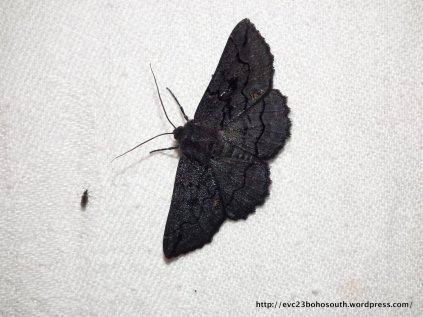 Female Black Geometrid (Melanodes anthricitaria).