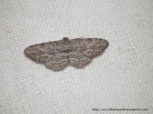 Phelotis cognata, Geometridae, Ennominae (ID P. Marriott)